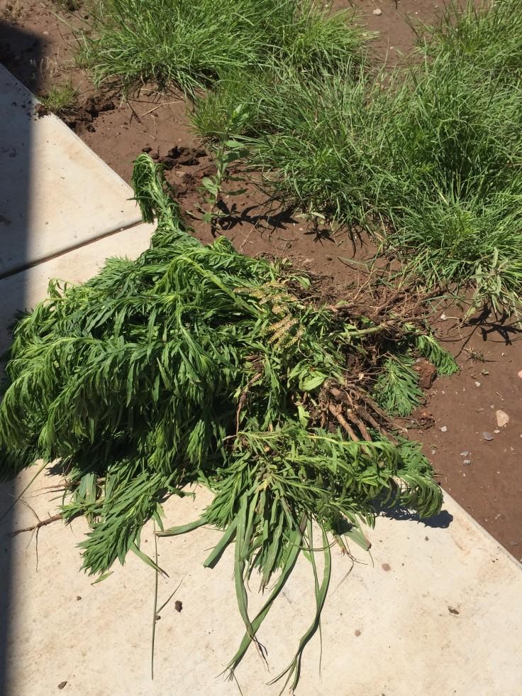 weed pile